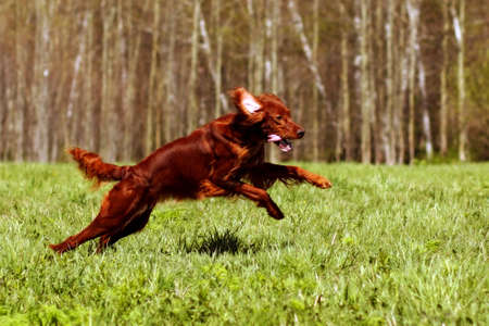 hunter playful: happy dog Irish setter jumping in the grass in the summer, have fun playing