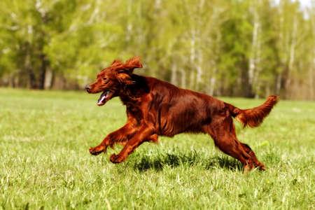 setter: dog Irish setter running in the summer on the grass