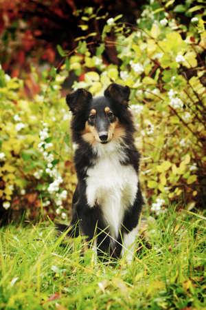 sheltie: adorable sheltie dog posing outdoors