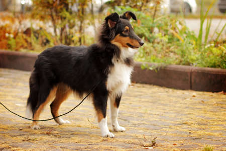 doggy position: tri-color sheltie dog is on the leash in the show position outdoors