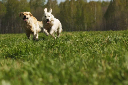 two dogs Golden Retriever fun run in the summer on the nature of each other