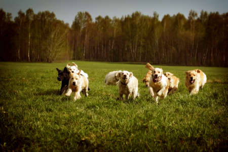 A large group of dogs Golden retrievers running in the summer through the green valley Stock Photo