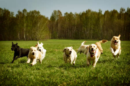 Un gran grupo de perros perdigueros de oro que se ejecuta en el verano a través del valle verde Foto de archivo