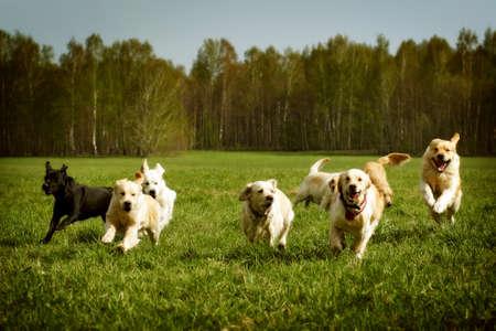 perro corriendo: Un gran grupo de perros perdigueros de oro que se ejecuta en el verano a través del valle verde Foto de archivo