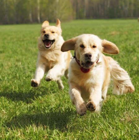 overtake: two dogs Golden Retriever fun run in the summer on the nature of each other