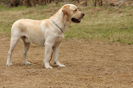 fawn: beautiful purebred fawn dog Labrador Retriever stands on the nature Stock Photo