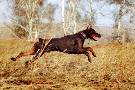 rapidity: brown dog Doberman Pinscher runs gallop very fast runs in the spring