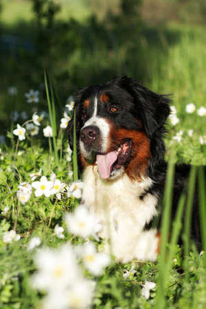 beautiful happy dog Bernese mountain dog lying on the flower summer meadow
