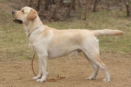 doggy position: beautiful purebred fawn dog Labrador Retriever standing in the show position sideways Stock Photo