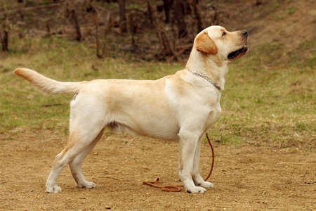doggy position: beautiful purebred fawn dog Labrador Retriever standing in the show position sideways with his head held high