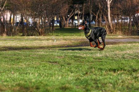 rapidity: black dog Doberman Pinscher running in summer Park with a kerchief