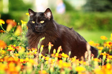 lurk: Black Siberian cat in summer, sitting in the flower bed, hiding and waiting for prey Stock Photo