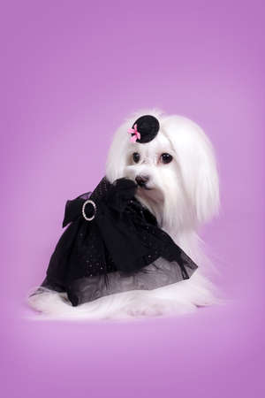 flirty: a cute dog Maltese in black glamorous outfit Flirty looks, on a purple background Stock Photo