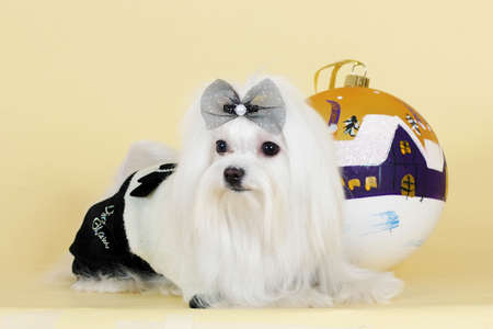 flirty: cute dog Maltese new year in a glamorous suit with a ball Flirty looks