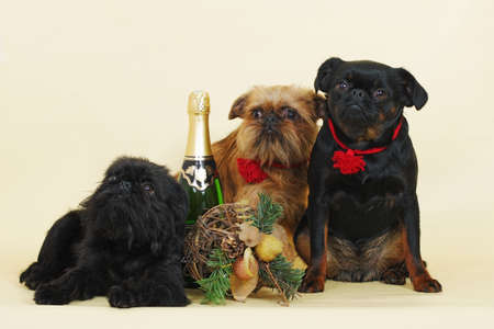 griffon bruxellois: a group of Griffon Bruxellois dogs in the neighborhood with Christmas decorations and champagne