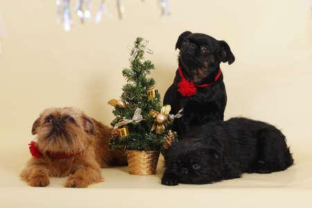 griffon bruxellois: group of dogs Griffon Bruxellois next to the Christmas tree in the Studio Stock Photo