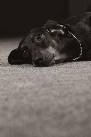 Sad dog German shorthaired Dachshund looks with his head