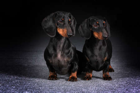 simultaneously: two dogs haired German dachshunds simultaneously looking in the same direction