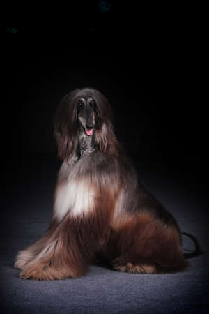 afghan: dog beautiful Afghan hound sits on a black background and looks