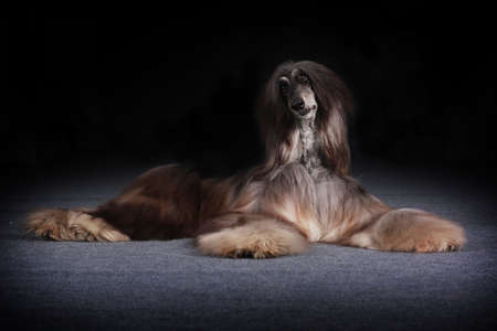 afghan: beautiful Afghan dog lies and looks questioningly, begging for food Stock Photo