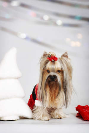santa suit: dog breed Yorkshire Terrier sits in a Santa suit Claus