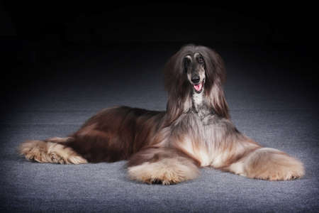 afghan: dog beautiful Afghan hound lying and looking fun