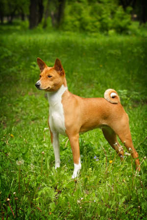doggy position: beautiful dog Basenji is in the show position in the summer on the grass