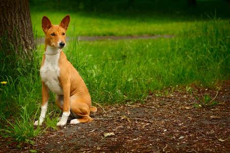 doggy position: beautiful purebred Basenji dog walking outdoors in summer