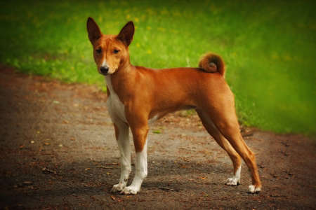 doggy position: cute dog Basenji is in the show position in the summer Stock Photo