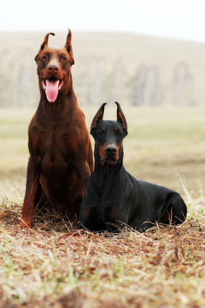 doberman pinscher: couple of dogs Dobermans black and brown the spring