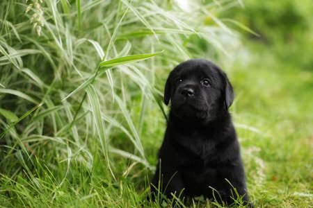 pedigree: beautiful black pedigree Labrador puppy sits in the summer outdoors in the grass