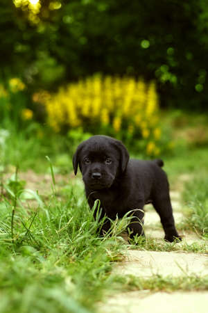 pedigree: beautiful black pedigree Labrador puppy walks in the summer outdoors in the garden