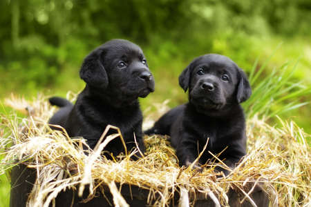 two beautiful purebred black puppy dog Labrador sitting in the summer on the nature in the straw