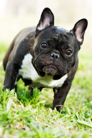 droll: dog French bulldog in the summer on the nature, standing and looking questioningly