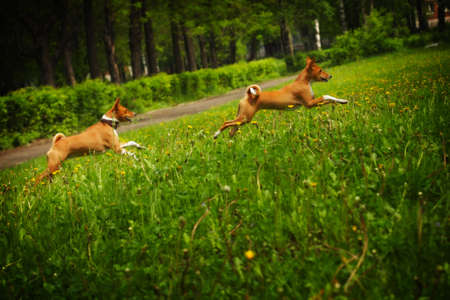 no correr: dos perros de la casta Basenji feliz corriendo en el c�sped en el verano al aire libre persigui�ndose Foto de archivo