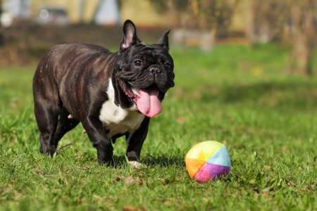 droll: happy dog French bulldog plays with ball in summer on the grass Stock Photo
