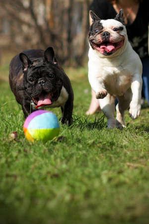 Zwei glückliche Hunde Französisch Bulldoggen Ball auf die Natur im Sommer spielen Standard-Bild - 59890946