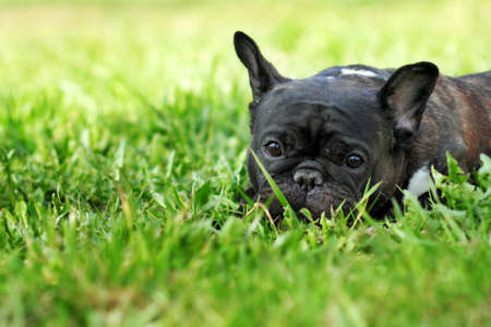 droll: sad dog French bulldog lying in the summer grass and looked plaintively, lost or waiting for the owner