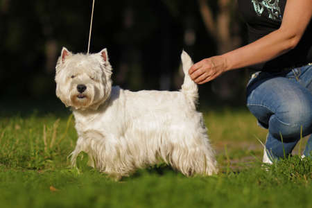 doggy position: dog breed West highland white Terrier standing in show position in the Park before the show with handlers
