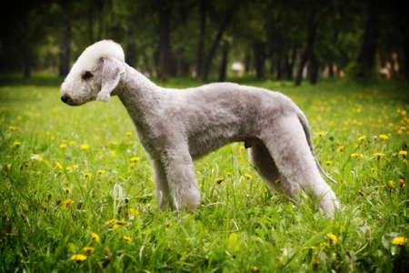 Dog Bedlington Terrier standing in show position in the summer in the Park, side view, male