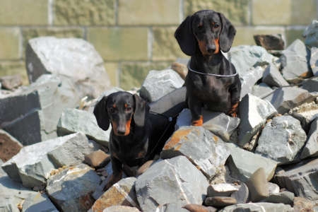 pedigree: two pedigree dogs German smooth-haired Dachshund sitting on rocks and watching closely