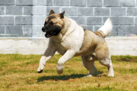villain: Dog breed Akita inu, quickly galloping runs on the fenced area, chasing a villain