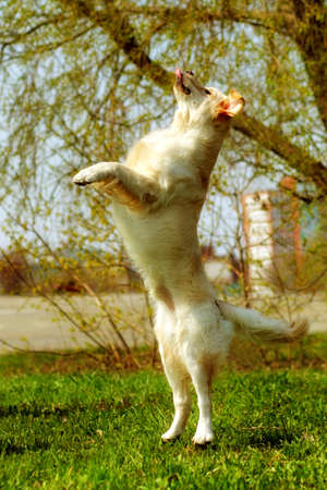 stretched: funny Golden Retriever dog playing and jumping in the summer on the nature, stretched vertically