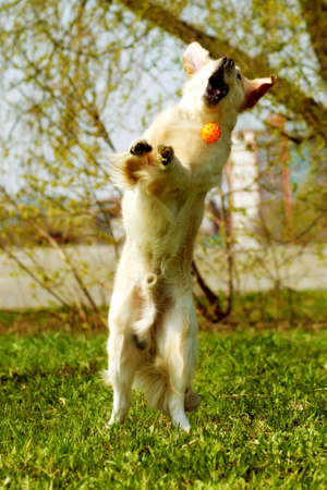 stretched: funny Golden Retriever dog playing with a ball, jumps and catches it on the fly, stretched vertically in a jump