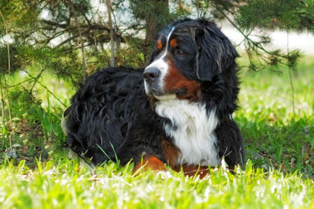beautiful Bernese mountain dog rests in the shade summer and is resting, stares into the distance Reklamní fotografie