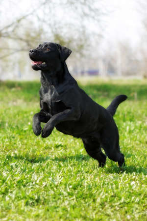 hinder: black dog Labrador Retriever plays in the summer, runs and jumps on its hind legs Stock Photo