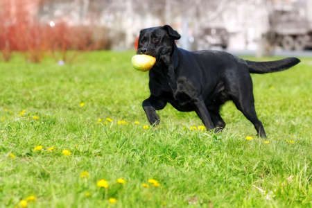 labrador teeth: black dog Labrador Retriever playing with ball in a city Park, caught and carries it in his teeth Stock Photo