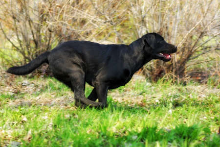 fun black Labrador dog running fast on green grass in summer in Sunny weather Stock Photo