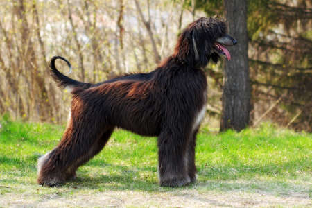 furred: beautiful dog breed Afghan is to show the position of summer nature in full growth Stock Photo