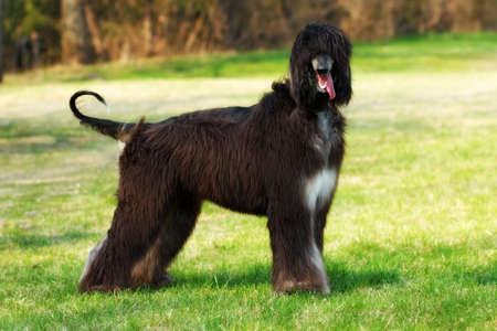 furred: beautiful breed of dog, the Afghan stands with full growth in summer, on nature walks and looking at the camera Stock Photo